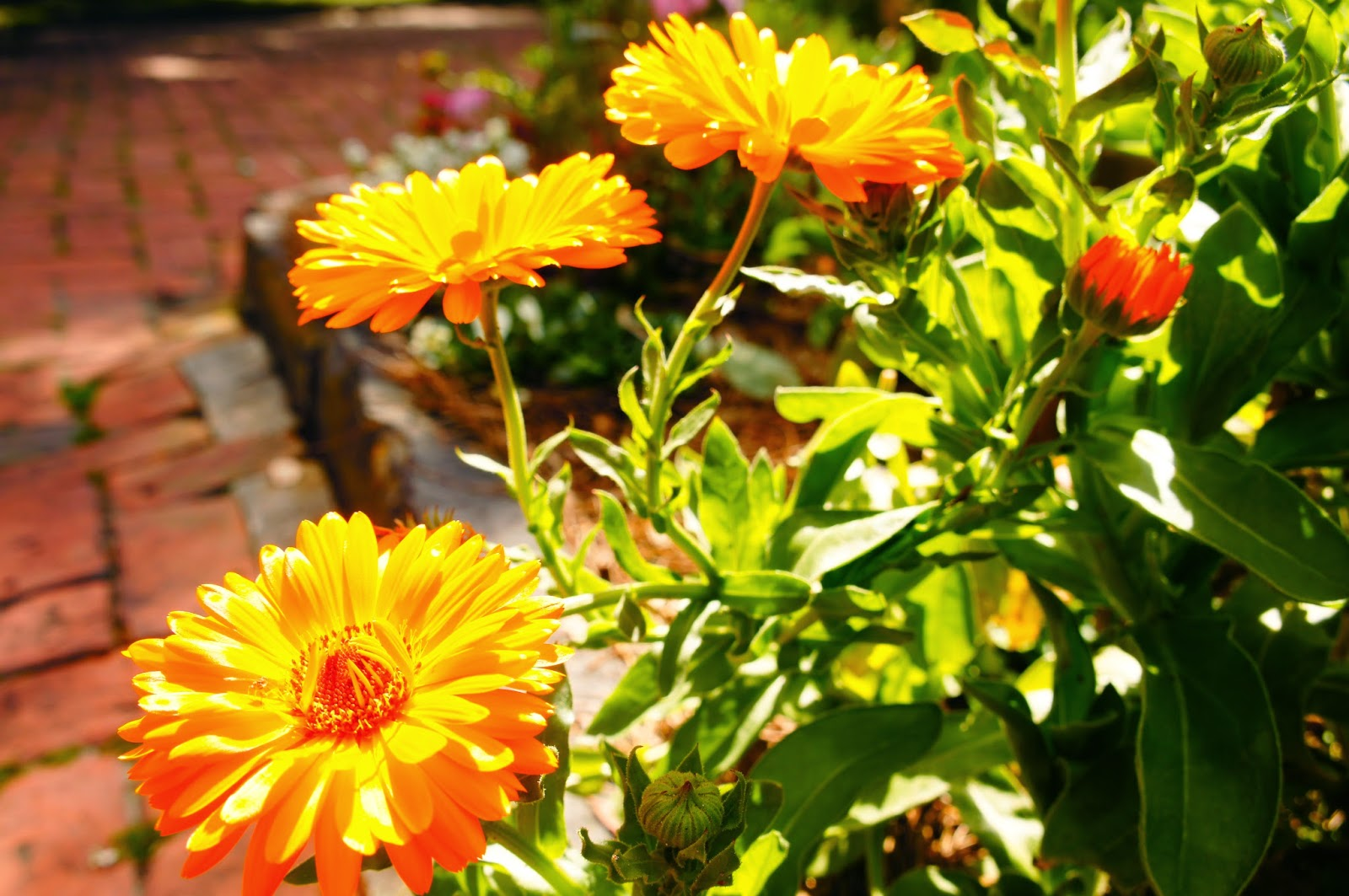 Flowers like Marigolds provide habitat for beneficial insects like honeybees, butterflies and pollinators.