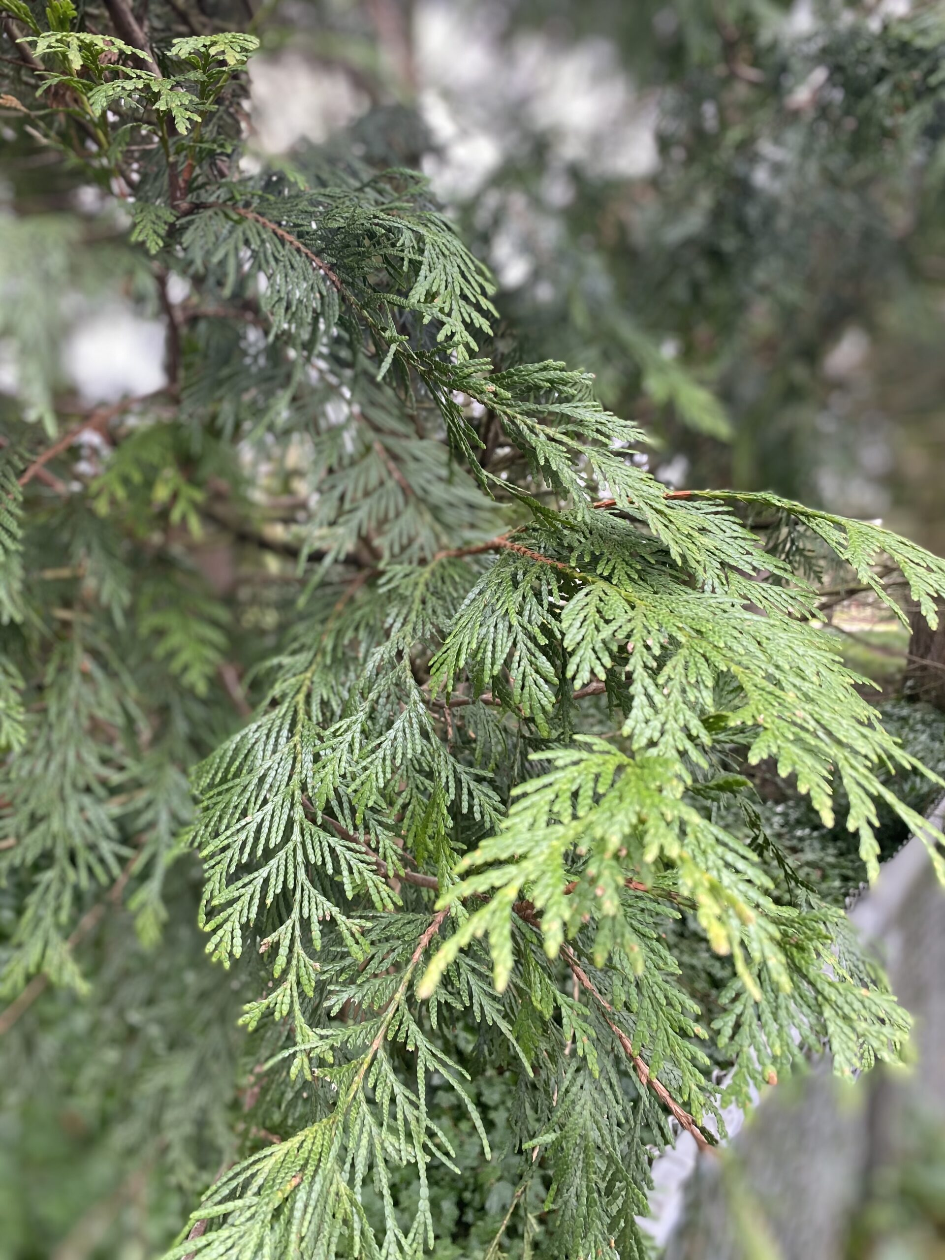 foliage or branchlets of the Western Red cedar