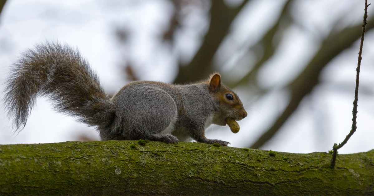 Eastern gray squirrel juvenile with a peanut in it's mouth