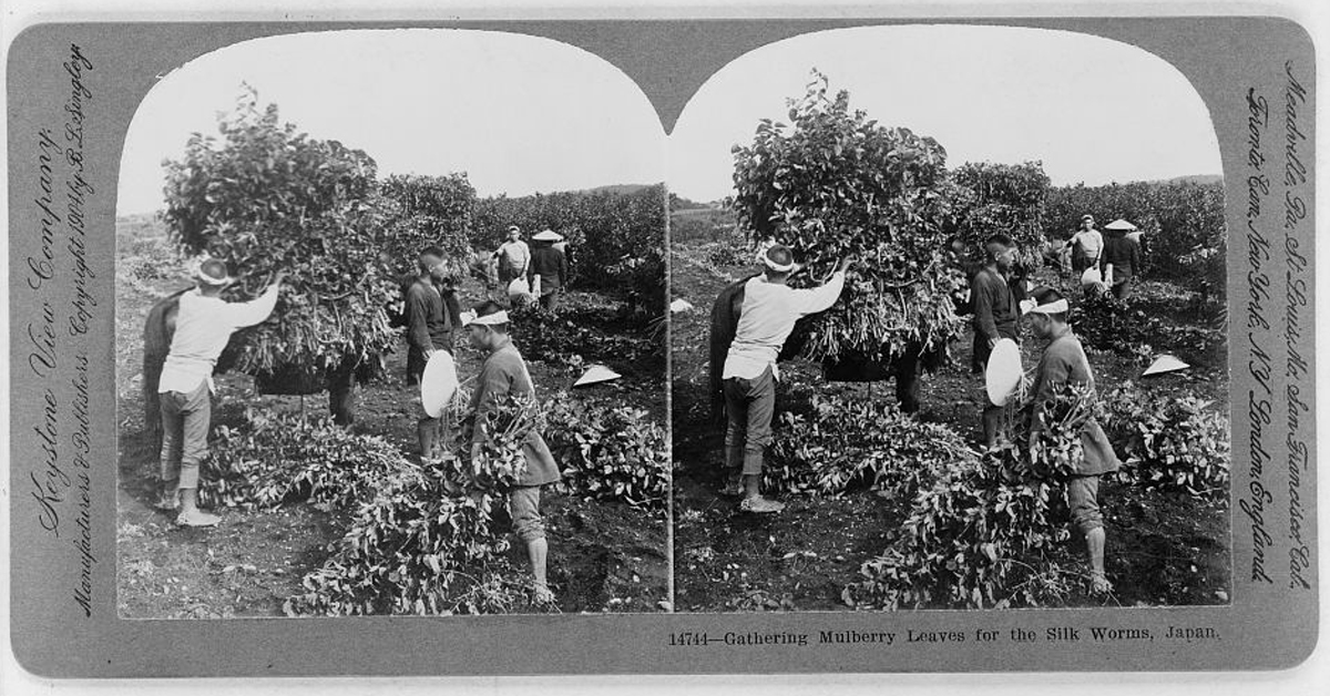 Photograph showing Japanese sericulture, mulberry leaves being collected to be chopped and fed to silkworms for the silk trade.