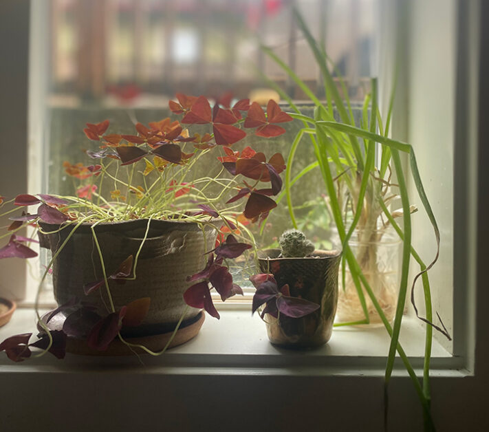Potted oxalis plant, small cactus and some scallions soaking in water on a windowsill