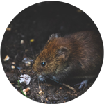 rat icon, photograph of a Norway rat on dark background