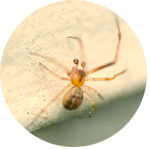 spider icon, yellow sac spider photograph on a light background