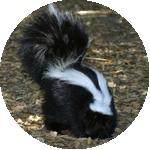 skunk icon, photograph of a striped skunk