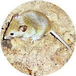 house mouse icon, photo of a house mouse adult