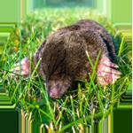 mole icon, photograph of a mole in the ground