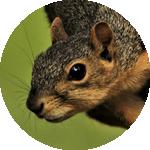fox squirrel icon, photograph of a fox squirrel's face