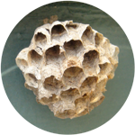 small paper wasps nest icon, photograph of a paper wasps nest
