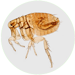 Flea icon with macroscopic image of a cat flea