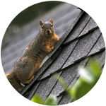 Douglas squirrel on top of steep roof