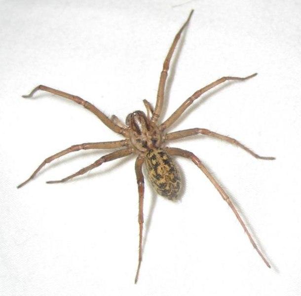 Closeup of hobo spider, credit: Judgeking, wikimedia commons