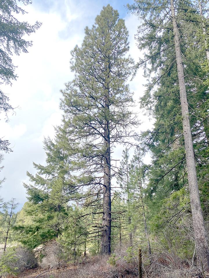 Large Ponderosa pine tree